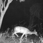 Feral deer monitoring to assist landholders control local populations 🦌 Two monitoring sites are capturing the densities and species of feral deer in the Oxley and Louth areas, with the data to help develop feral deer management programs.  More details👉https://t.co/rdFUDjhmlf
