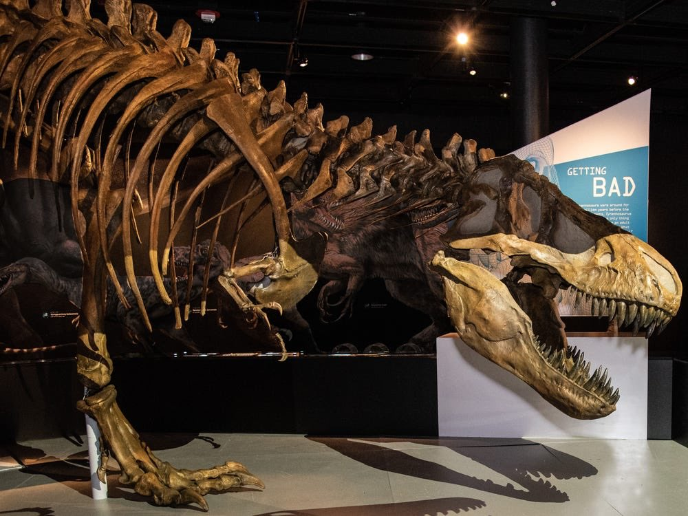 Underrated aspect of theropods? The fact that these were absolutely enormous animals were by and large fully bipedal! Moving bodies that could be in excess of 5000+ kilograms all on two legs! #dinosaurs #paleontology