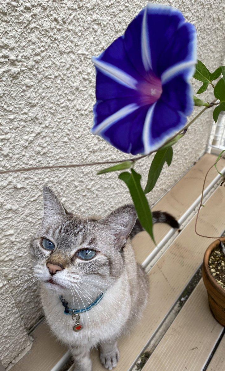 アサガオまた咲いた。がんばってる。