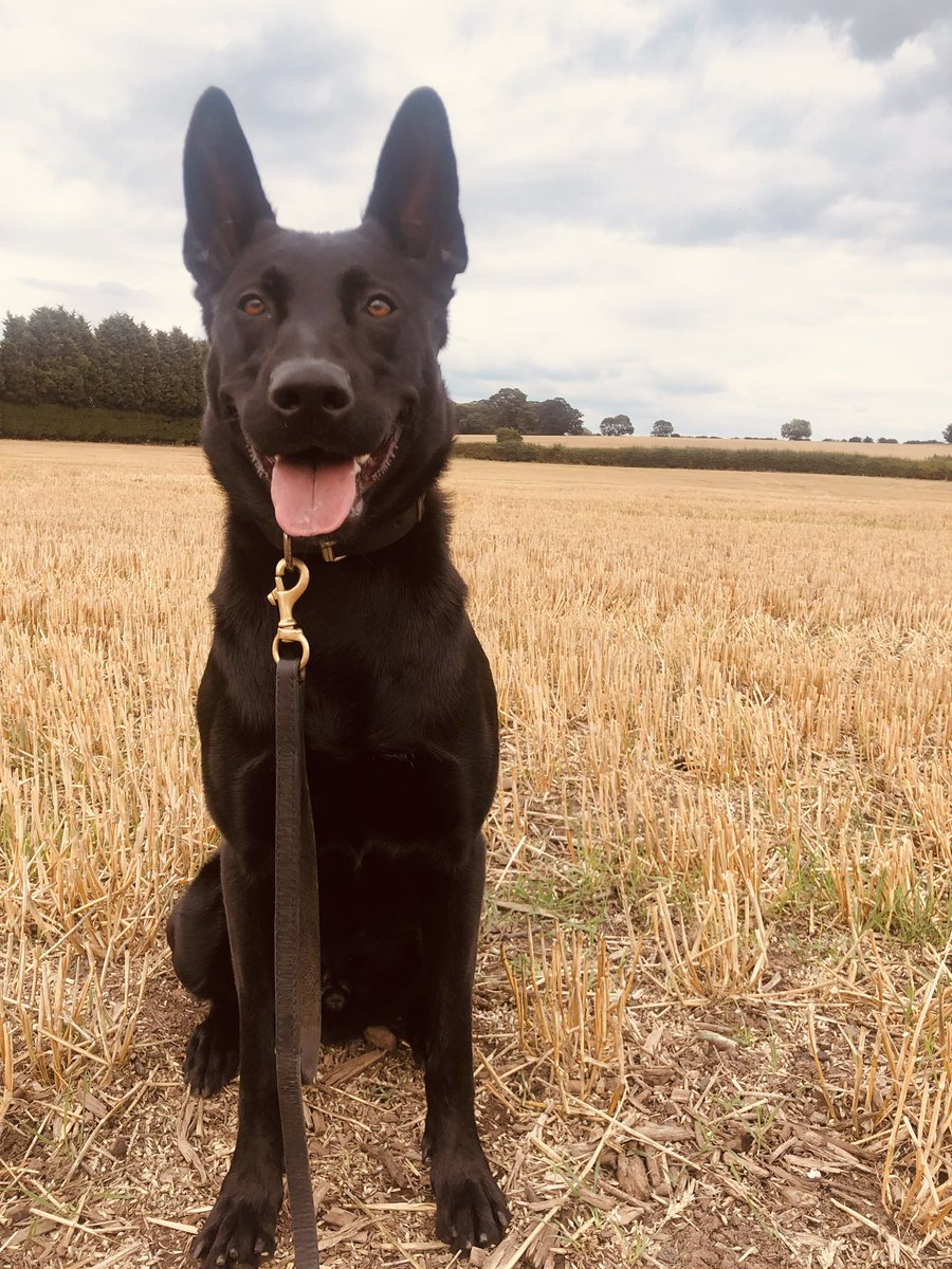 PD Zac was on hand last night to assist his colleagues on @ResponseWMP in Kingstanding after a wanted male 🏃🏼♂️and then tried to do an impression of a large piece of grass, he was soon sniffed out by the nose and #arrested #pawsomework #youcanthideinovergrowth 🐾
