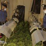 Image for the Tweet beginning: #notizie #sicilia Coltiva marijuana in serra