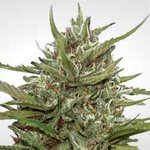 Auto Whiteberry  A beautiful plant, trichome rich and resin heavy, that delivers more sativa phenos  #marijuana #cannabisseeds #cannabis #cannabiscommunity #cannabisculture #weed #thc #cbd #indica #smokers  https://t.co/jKcym74J4B