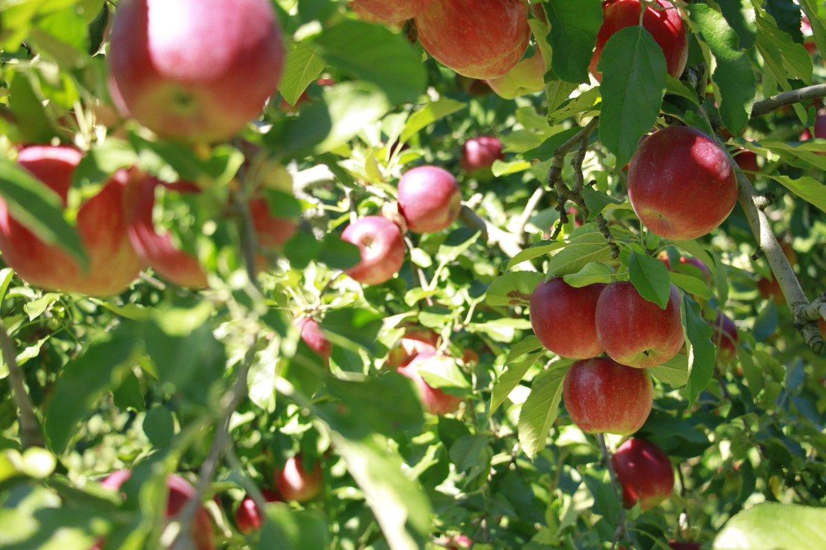 💫Live&Event💫APPLE PHONICS りんごとおと🍎福島・あんざい果樹園でりんごの果実をヘッドフォンにしたインスタレーション作品体験+ライブを行います!たわわに実るこの時期の特別企画✨10/9(土)青葉市子LIVE(会場25名) ※配信有り+お菓子+🍎🎧10/10(日)🍎🎧