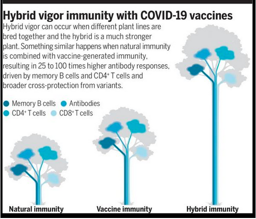 """Covid 19: La infección no induce excelente inmunidad. La vacuna es muy buena pero tampoco induce excelente inmunidad. Infección más vacuna produce una inmunidad """"híbrida"""", que es la mejor. (Science 25 Jun 2021:Vol. 372, pp. 1392-1393)."""
