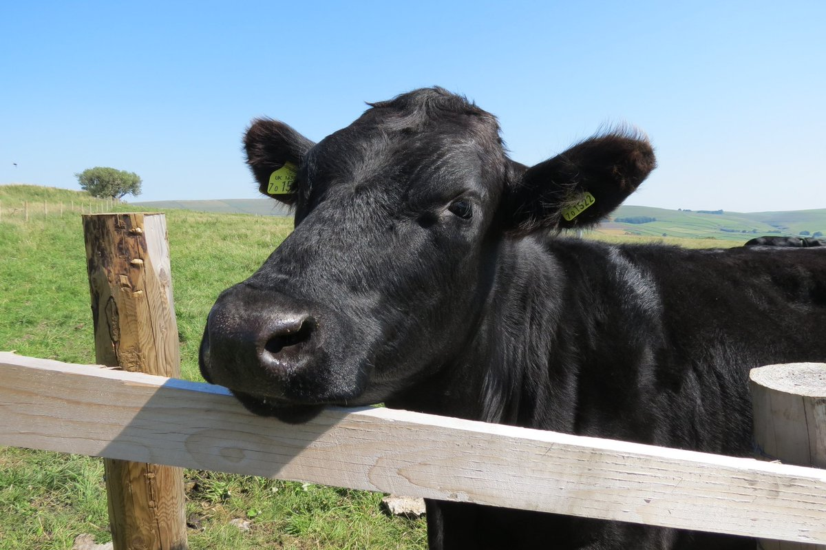 A young, black cow looking over a fence with blue sky above.