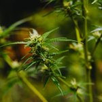 Image for the Tweet beginning: #cannabiscommunity #marijuana #cannabis Father May