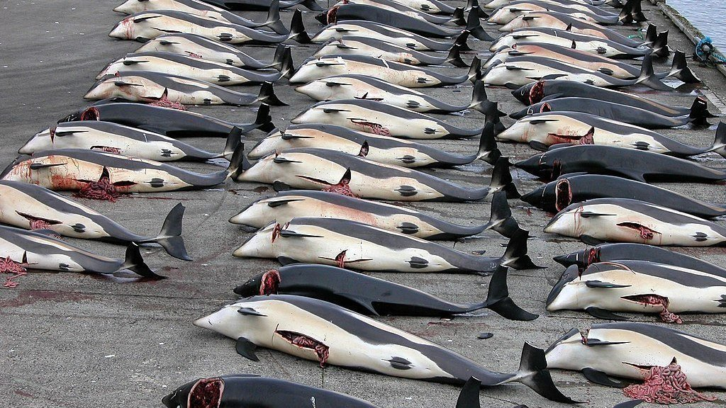 Mass slaughter of dolphins in the Faroe Islands 13/9/21