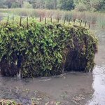 Image for the Tweet beginning: Clearing the very #invasiveweed known