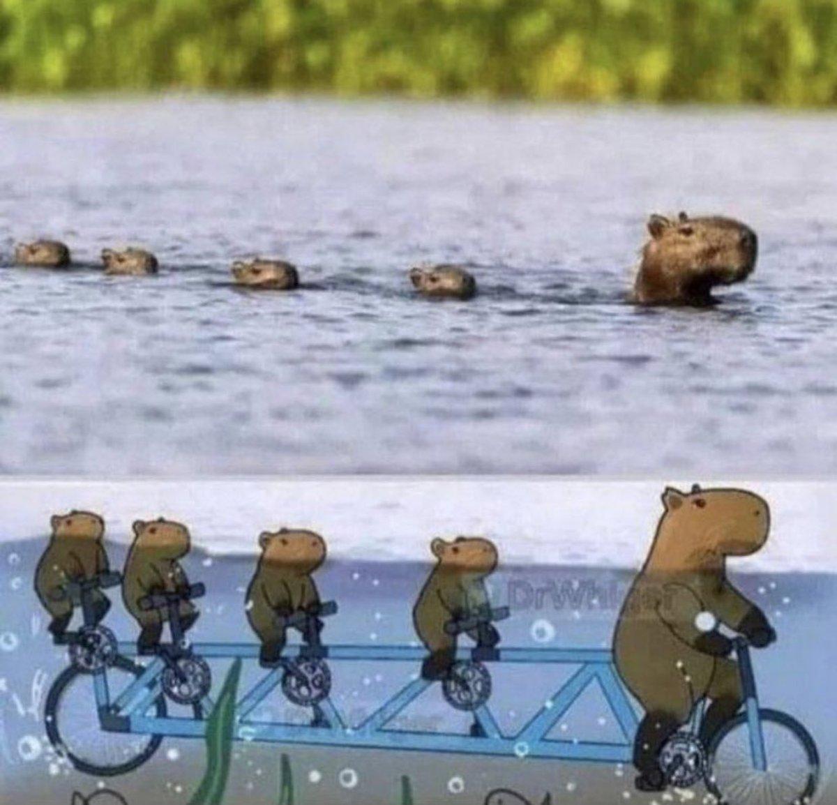 カピバラの親子が水辺を渡る方法が話題に