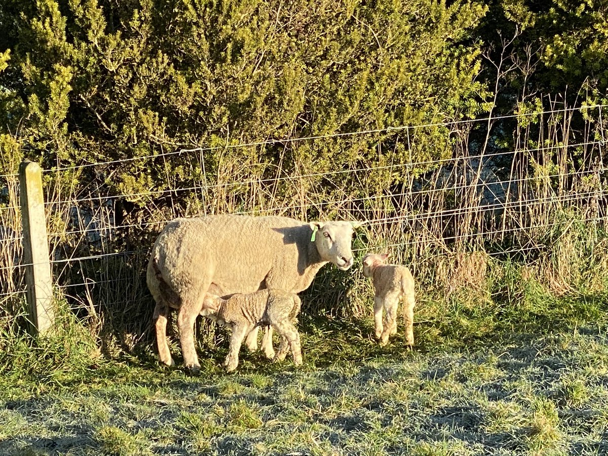 There's no better job than lambing in fine weather. It definitely dims the memories from the last 10 days.