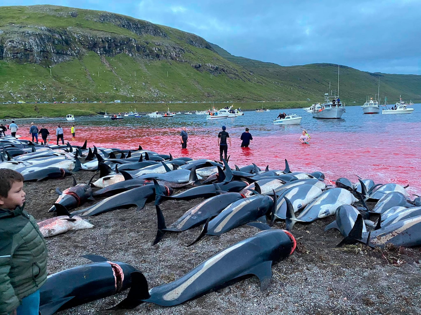 Slaughter of nearly 1500 dolphins sparks outcry over traditional hunt in Faroe Islands