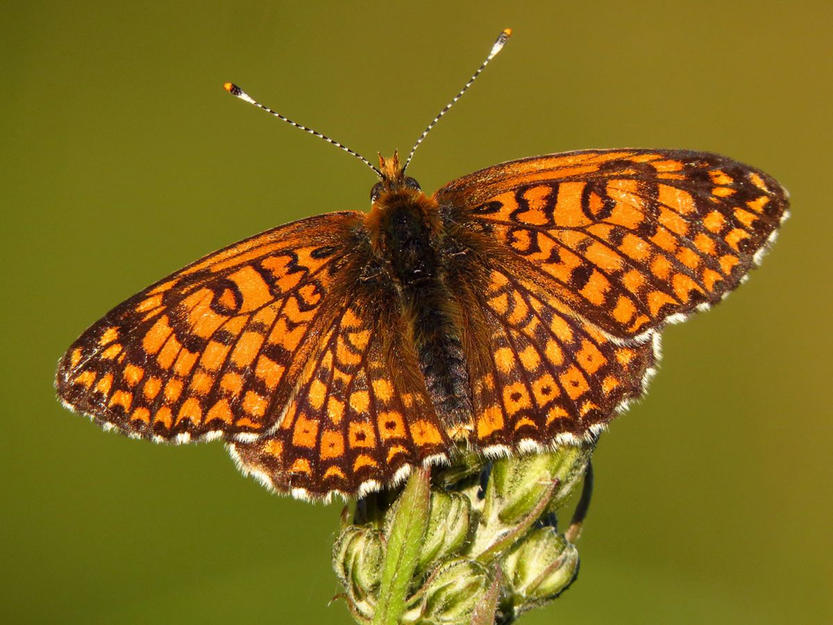 Researchers accidentally release parasitic wasp butterflies in Finland