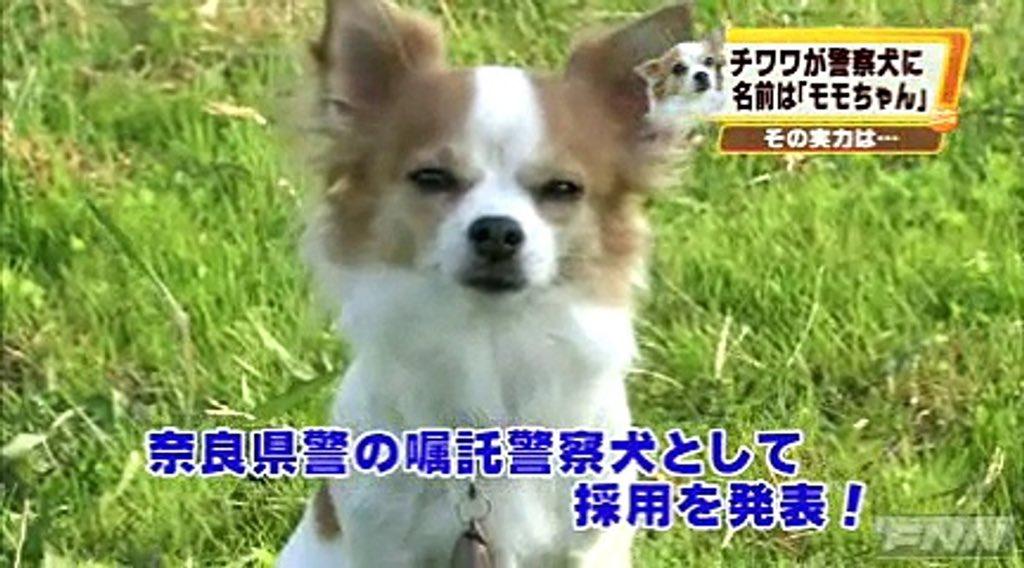 チワワ初の警察犬、顔付きがいいな。