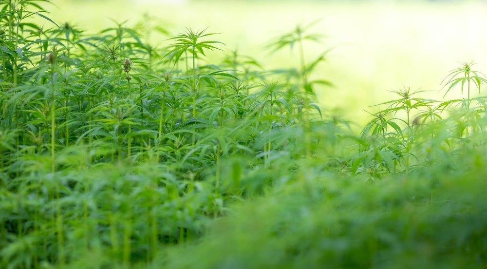 Leafbuyer: Growing Marijuana Indoors vs. Outdoors: Effects on Potency  #marijuana #cannabisindustry