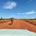 Image for the Tweet beginning: Peak hour traffic, @NT_Australiastyle 😉🐪