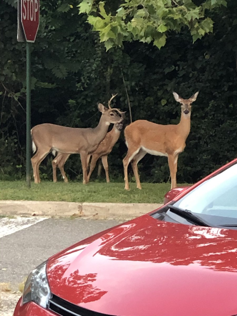 Spotted this family of deer when I arrived to work <a target='_blank' href='http://twitter.com/CampbellAPS'>@CampbellAPS</a> Our school borders beautiful <a target='_blank' href='http://search.twitter.com/search?q=longbranchnaturecenter'><a target='_blank' href='https://twitter.com/hashtag/longbranchnaturecenter?src=hash'>#longbranchnaturecenter</a></a> and a gorgeous wooded area, home to these amazing creatures. <a target='_blank' href='https://t.co/eGjCbFpb9X'>https://t.co/eGjCbFpb9X</a>