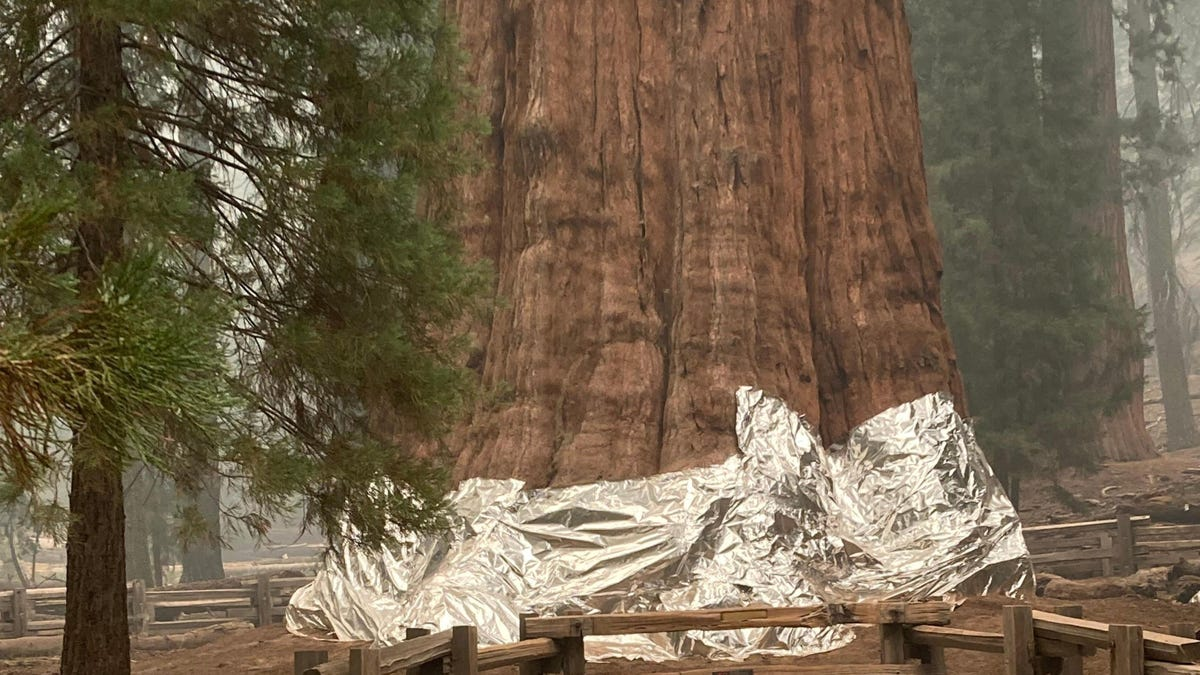 This is the largest single tree on Earth, and firefighters are trying everything to keep it and its siblings safe from an approaching wildfire in California.