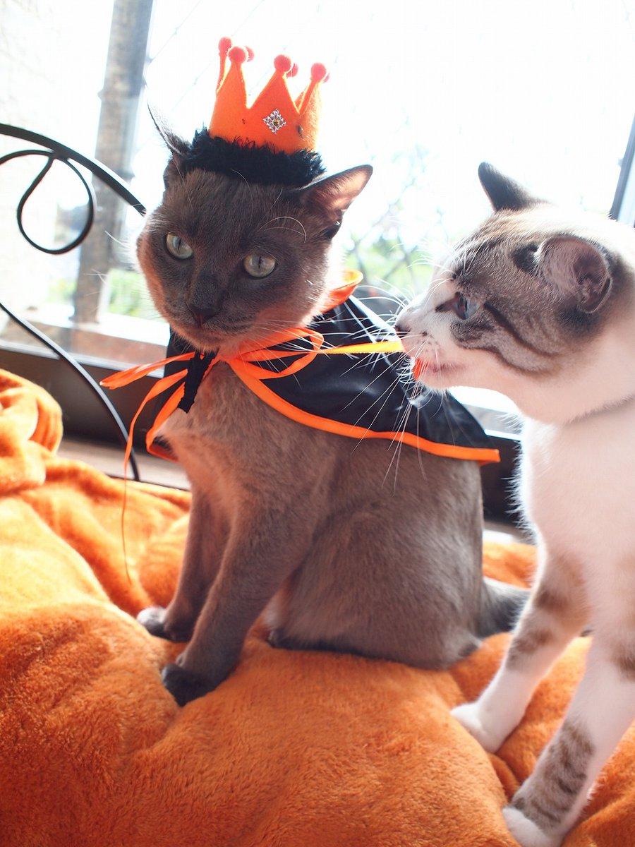 test ツイッターメディア - 去年の🎃 王冠はゴロにゃん👑マントはセリア👻 マントのコツは、買ったままリボンほどかず、かぶせる 兄くん動じなくなった💎  #トンキニーズ #シャムMIX #猫写真 #ハロウィンフォトコン2021 #コスプレ #猫のコスプレ #ゴロにゃん @56nyan_com #コスプレ #セリア  #Seria https://t.co/x0IiLSciM1