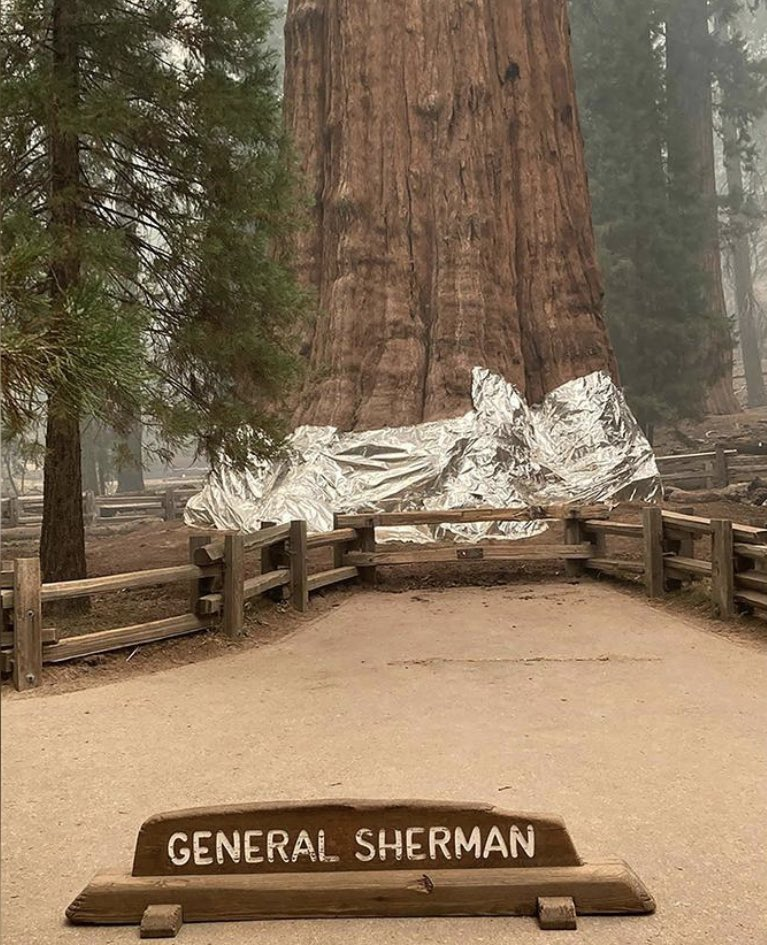 Firefighters have wrapped the world's largest tree also known as #GeneralSherman and other sequoias located in Sequoia National Park in fire resistant foil. Due to their massive size they have wrapped just the base which is most vulnerable to wildfire and the #KNPComplexFire.