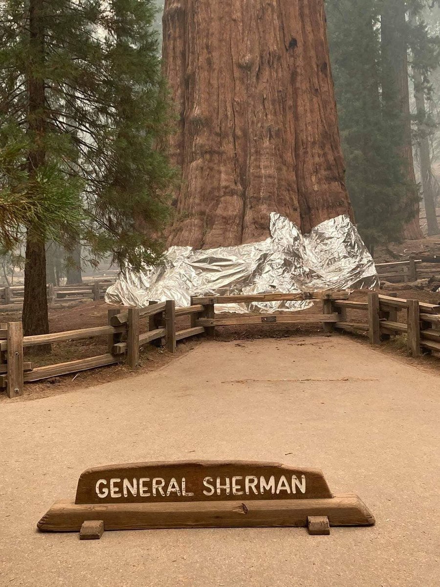 The #sequoia known as #GeneralSherman, the largest known living single-stem tree on earth, est. to be 2,300 to 2,700 years old, faces a ruthless fire, made more extreme by the #climatecrisis.  #ForestFires #KNPComplexFire  @ErikSolheim @rwclimate @RebeccaH2030 @KaoHua3 @mrEmTee