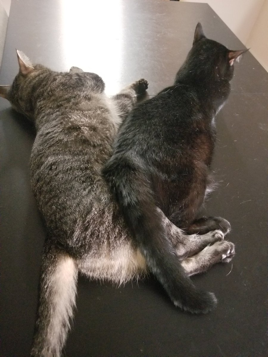 It is literally impossible for two cats to be any closer. If you or someone you know would like this much love in your life, adopt/share the link for these cats! You won't be disappointed! petfinder.com/cat/loving-bro…