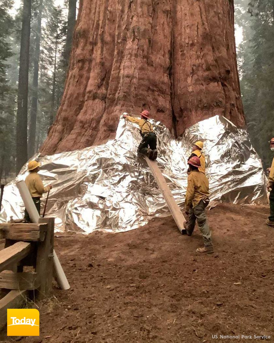 """The world's tallest tree is under threat as wildfires spread through California's iconic Sequoia National Park.  Firefighters have wrapped the base of the General Sherman Tree in protective foil to combat """"critical fire conditions"""".  STORY: 9Soci.al/lxKh30rUt2R #9Today"""