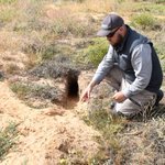 """We're urging landholders in the eastern areas of the Eyre Peninsula to bait feral rabbits now, with reports of numbers rising around Cleve, Kimba and Cowell. """"Rabbits breed up quickly and will feed on crops and pastures."""" https://t.co/PJjX9ao9m1"""