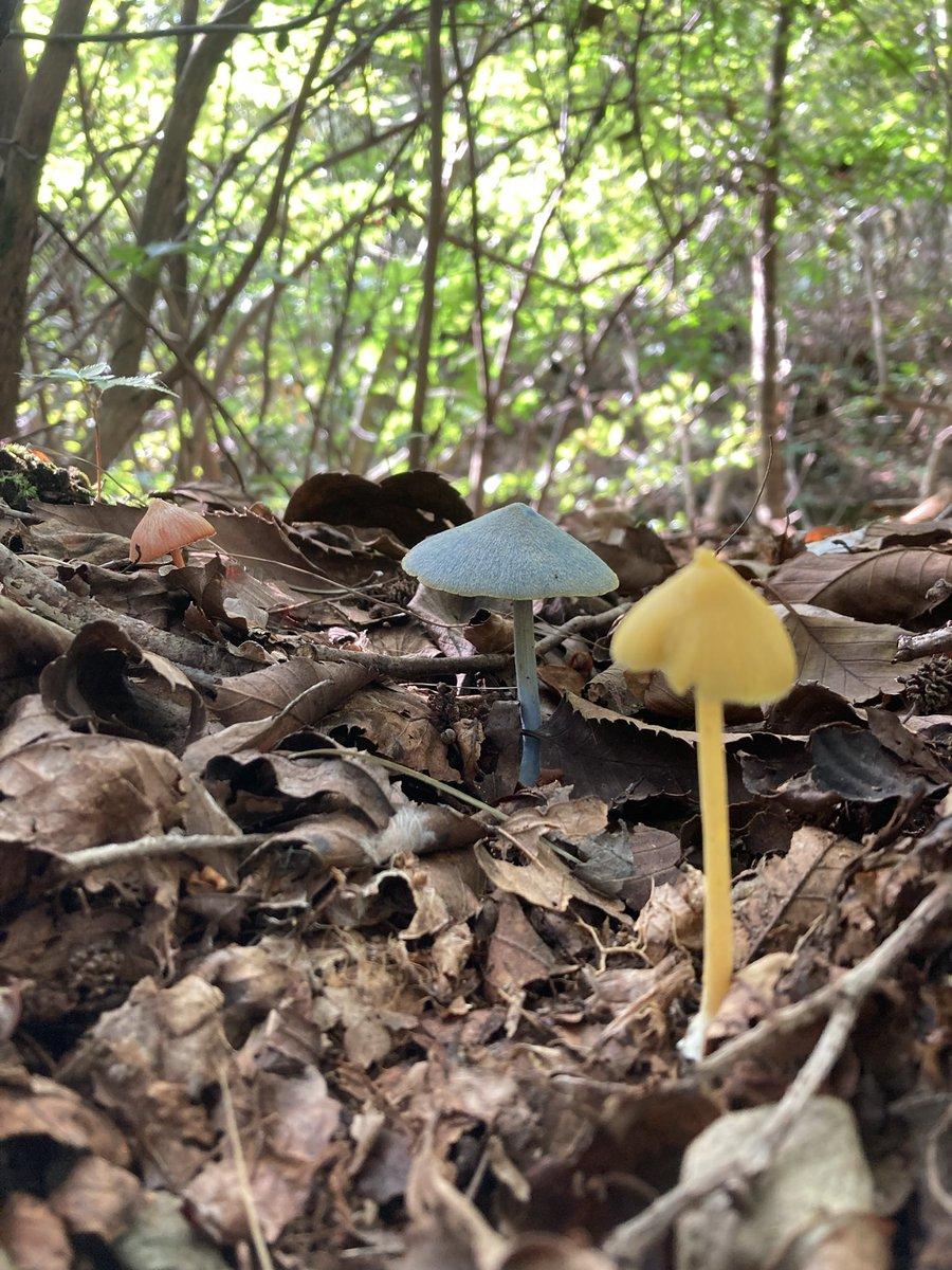 黄、赤、青、それぞれのイボカサタケが揃っていたぞ!! 発生環境が似てるとはいえ、ここまで揃って生えているのはめちゃくちゃ珍しい……特に青色のソライロタケは滅多に見れないレア菌だ!良いものを見せてもらったぜ……