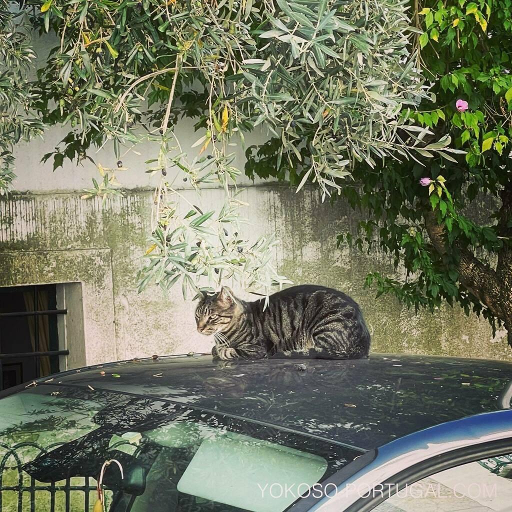 test ツイッターメディア - 車の屋根でくつろぐ、アルファマのネコ。 #リスボン #ポルトガル #ネコ https://t.co/Kw4FOgZiEc