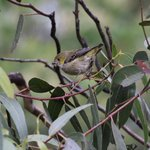 New project to protect the rare & endangered 40-spotted pardalote - head to the link to find out more about how we're supporting researchers from the Australian National University to design a study that we hope will improve their population numbers #NLP  https://t.co/EdRpt8RzRm