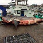 4km沖でこれが泳いでいた!?三重県の定置網にかかった6mのホホジロザメ!