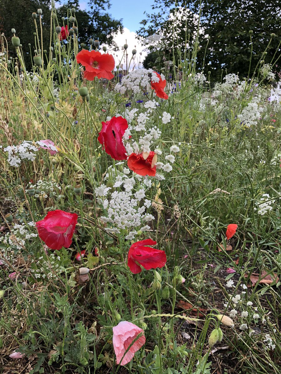 Wild flowers from England - quite nice to catch these on my daily walk.