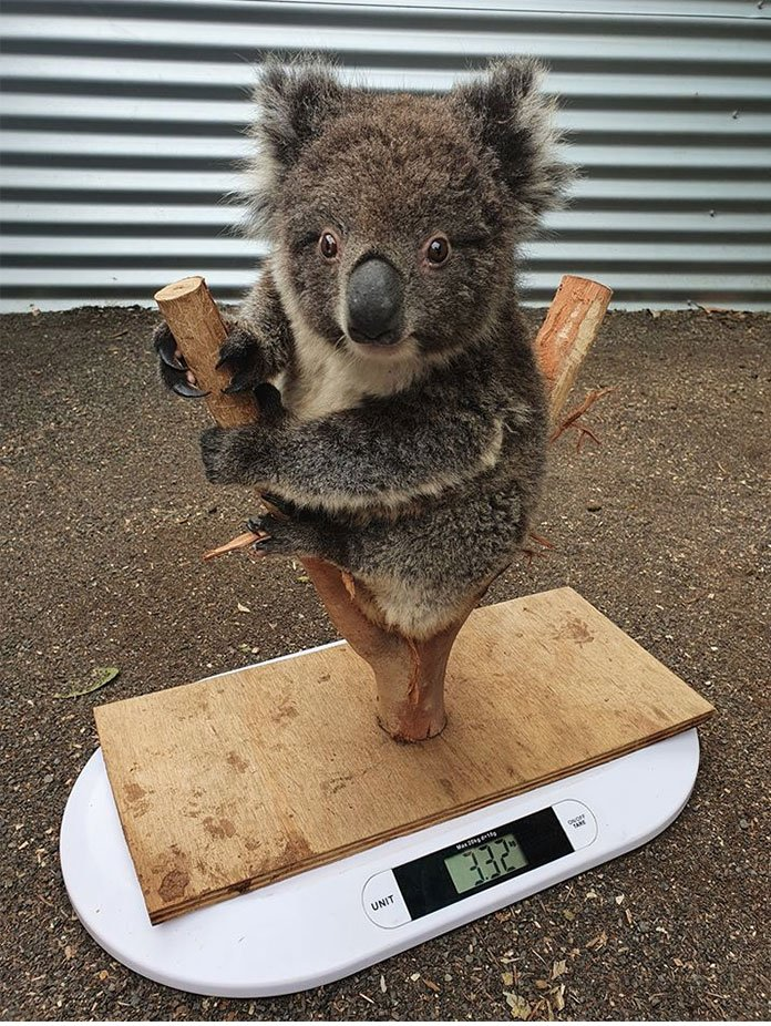 if anyone's ever wondered how they weigh a koala...