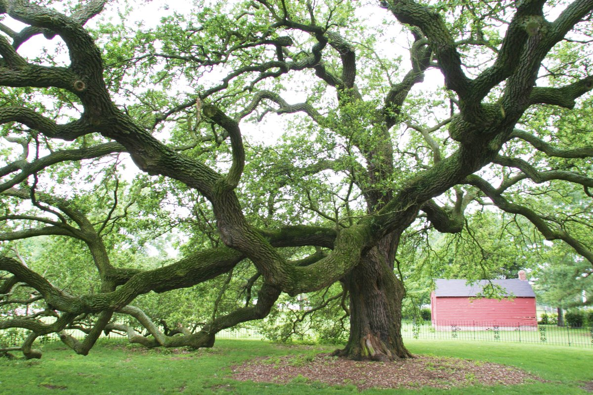 At my beloved alma mater, Hampton University, stands the mighty Emancipation Oak.