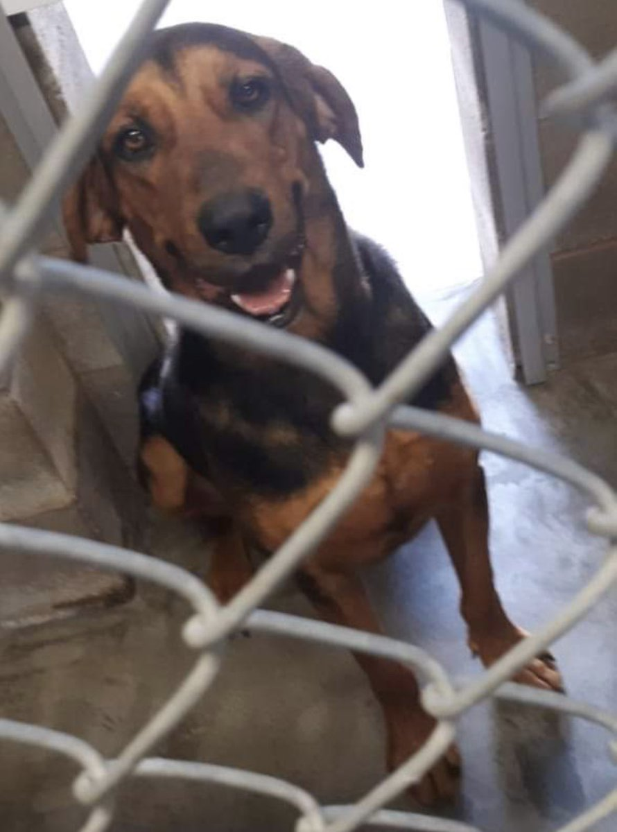 #TX #ABILENE 🆘🆘I AM GETTING IGNORED! My name is Cooter-I'm handsome & calm, everyone says I'm a good boy so why does no one love me & take me home! Pls help me get out of here! #ADOPT #PLEDGE #RESCUE #A39222962 https://t.co/c926mHfRQ8 https://t.co/jhE8tGEIuP