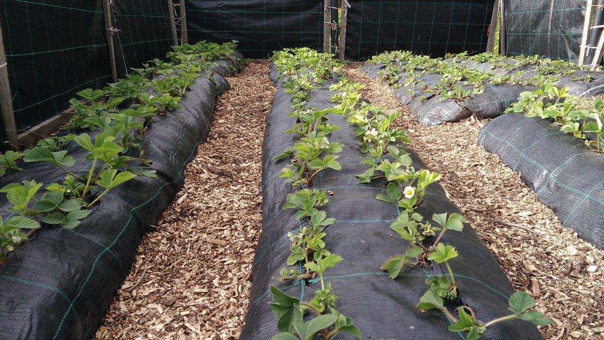 Things change May vs June  #strawberry #strawberries #raisedbed #hotbed #garden #gardening #gardenlife #plants #redberries