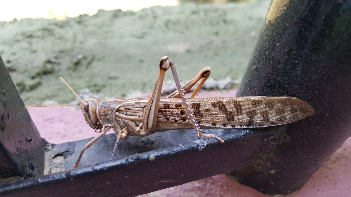 News Burst 11 Giugno 2020 - A very large grasshopper