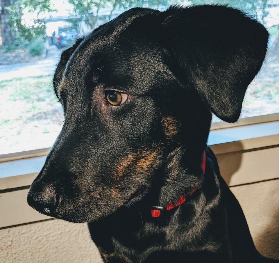 This is my Aussiedor puppy (half Australian Shepherd, half Labrador) naturally, her name is Beckett. pic.twitter.com/45n9Z2m48m
