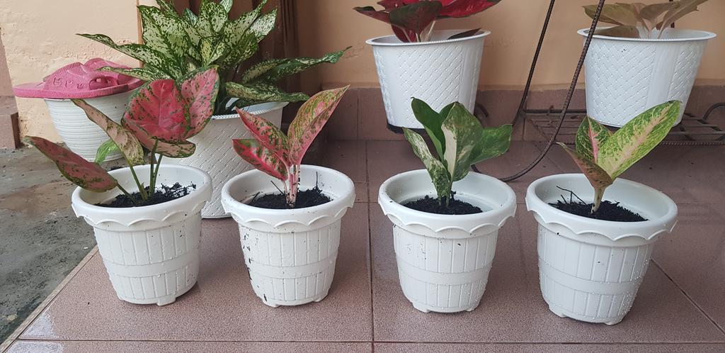 Aglaonema Dut Anjamani, Reanita, Siam Jade Varigata, dan Harley Queen