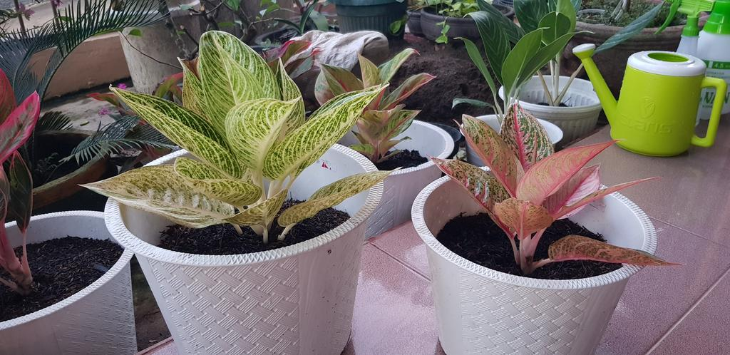 Aglaonema White & Red Legacy
