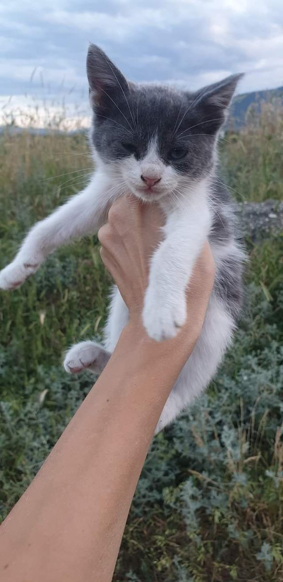 A 2 month old girl that loves to cuddle all the time! PLEASE adopt so that we can save others! We don't have the capacity to only keep on taking in animals #AMOS #AMOSShelter #animalshelter #shelterkitten #adoptakitten #lookingforahome #AdoptDontShoppic.twitter.com/O0XxrEatME