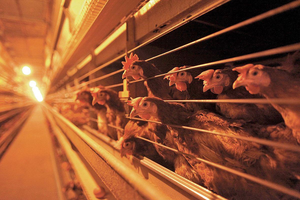 Zákaz klecových chovů slepic nezískal podporu zemědělského výboru https://t.co/0BcrWKjgUs #InformacniServis https://t.co/kIH81oSnsr