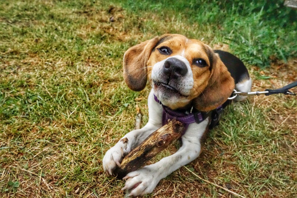 The hound is a very happy #beagle  at #lothertonhall #beaglesoftwitter #beagles #happybeagle #beaglelove https://t.co/jhiFpGDUcg