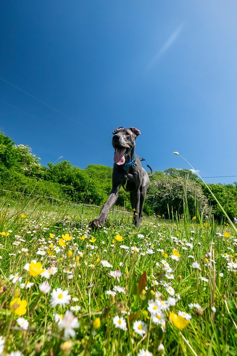 Out playing in the sun   #greatdanesofinstagram #greatdane #greatdanephotography #greatdanepuppies #greatdanesunleashed #bigpuppy #puppylove #puppiesofinstagram #greatdanespage #instadog #instadogs #giantdog #twitterdog #danesoftwitterpic.twitter.com/hozHMtP59o