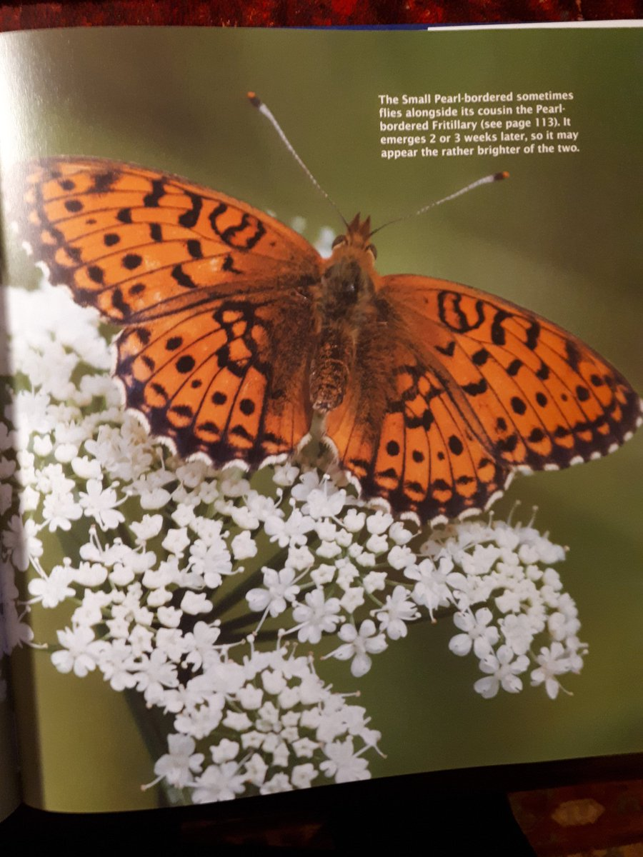 """#Smallpearlborderedfritillary """"Forever younger siblings of the pearl The small pearl-bordered butterflies unfurl Competing wings in full view of the sun Because their rivalry is never done....."""" part of my poem. Photo by #YealandKalfayan @MerlinUnwin @savebutterflies https://t.co/eWMusDHv76"""