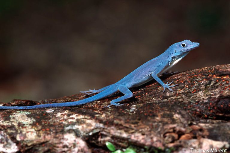 Anolis gorgonae is a PURE BLUE arboreal anole.  This colouring is the same on both male and females, and the dewlap is stark white, making a brilliant contrast with its body.  📸: Thomas Marent https://t.co/zKtuoE2jgP