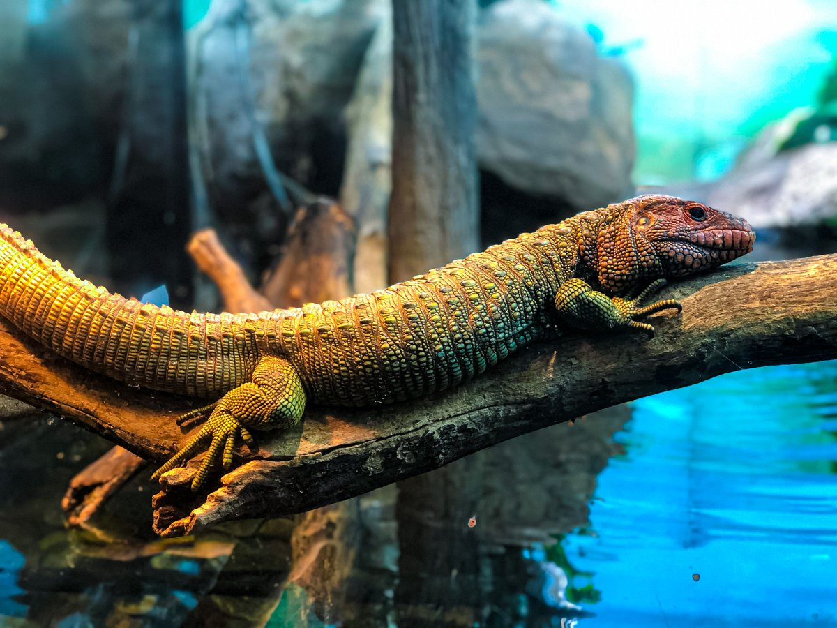 #FridayVibes brought to you by our sunbathing caiman lizard😎 ☀️