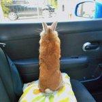 「何も見えない..もういいや」車内でふてくされるウサギが可愛すぎる