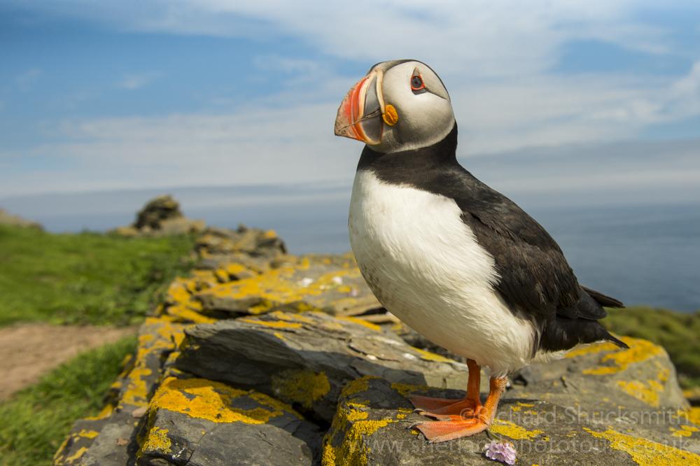 Puffin #Shetland