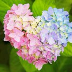 形だけじゃなく色も完璧・・・!幸せを届けてくれそうな紫陽花